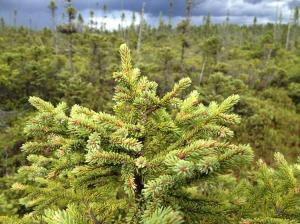 Black Spruce  in an Adirondack wetland - photo by Samouel Beguin