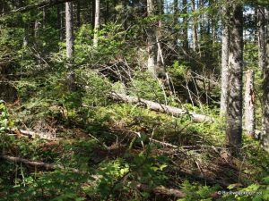 Blowdown near Confluence of Middle Branch Oswegatchie River