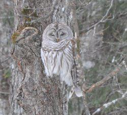 owl crop2