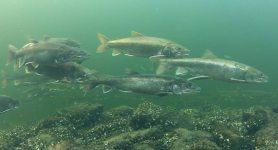 Spawning-Lake-trout