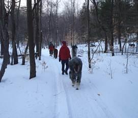 Alpacas on the Otter Creek Horse Trails this winter