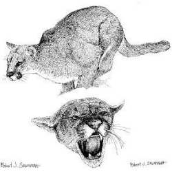 cougars