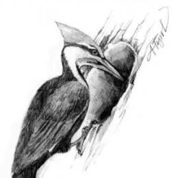 tos pileated woodpecker