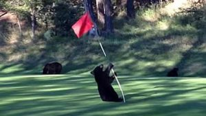 black bear plays with golf course marker