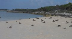A beach full of iguanas!