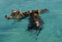 Swimming pigs at Big Major Spot