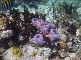 Purple sponge (Callyspongia plicifera) - near O'Briens Cay