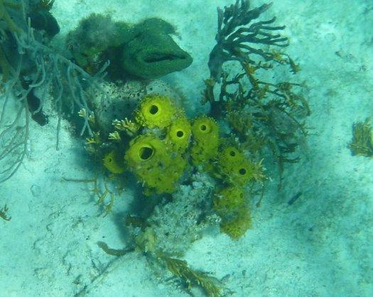 Yellow Tube Sponge (Aplysina fistularis) Fowl Cay Exuma