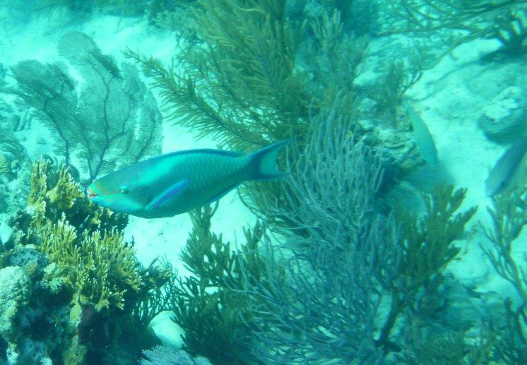 Queen Parrotfish (Scarus vetula) - O'Brien's Cay