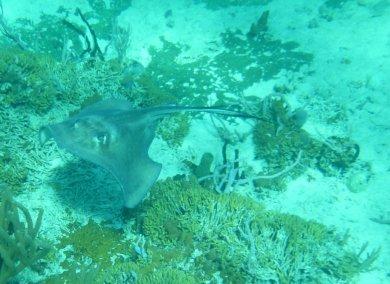 Southern Stingray (Dasyatis americana) over fire coral - O'Brien's Cay