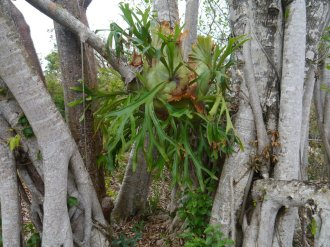 A large epiphytic Staghorn Fern – (Platycerium grande) in tree roots along the trail - Manjack Cay