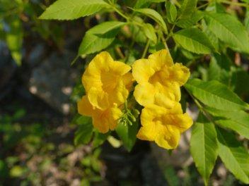 Wild Allamanda (Angadenia sagaei) - Staniel Cay