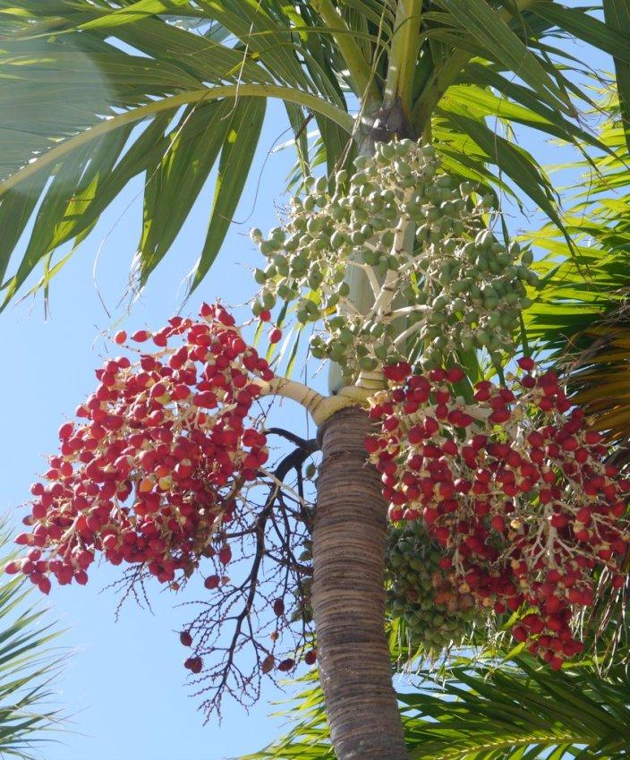 Manila Palm, Christmas Palm (Veitchia merrillii) - Treasure Cay