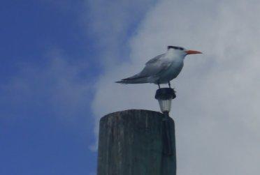Royal Tern - Spanish Wells