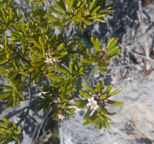Mosquito Bush (Campfia maritima) - used in bush medicine for coughs and colds and to induce passing of kidney stones. Sand that the smoke of a fire of these will keep away mosquitoes. Grows in lignaceous rocky shores. Seen at Waderick Wells.