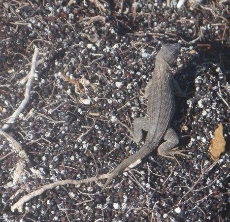 Curly-tailed lizard (Leiocephalus sp) - Waderick Wells