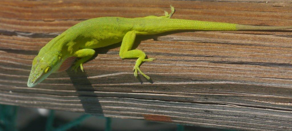Green Anole (Anolis carolinensis) - Great Exuma