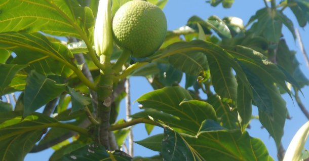 Breadfruit tree (Artocarpus altilis) - used in bush medicine for high blood pressure, headaches, nerves.