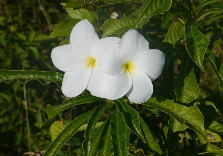 Frangipani (Plumeria pudica) - Fowl Cay
