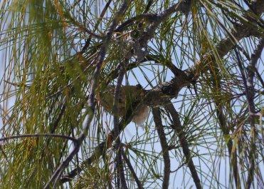 Bahama Woodstar nest and fledgeling - newborn