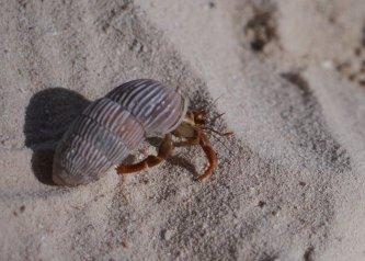 Hermit crab (Coenobita) - Stocking Island