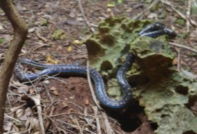 Bahamian Boa Constrictor, Fowl Snake Bahamian Brown Racer