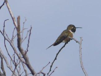 Male Bahama Woodstar (hummingbird) - Stocking Island, Exuma