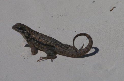 Curly-tail lizard (Leiocephalus carinatus) - Shroud Cay