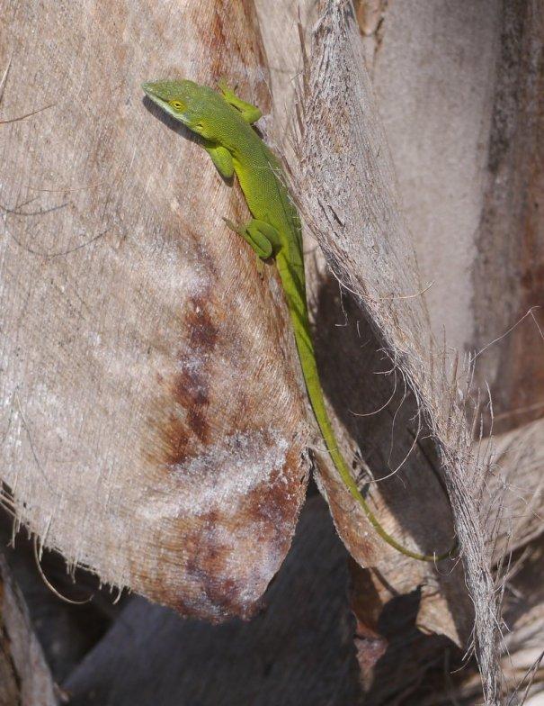 Green anole (Anolis carolinensis) - Bimini