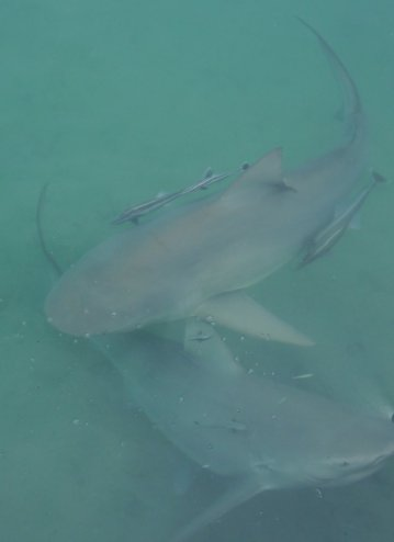 Bull sharks and their entourage of Remora