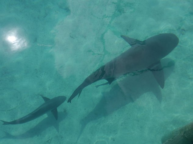 Bull shark and Cobia (I thought it was a baby bull shark but it is not!)