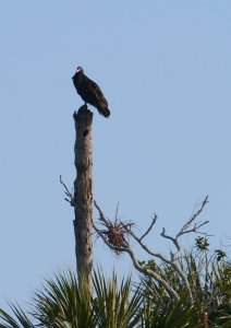 A turkey vulture watches us from its perch along the ICW