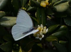 Butterfly on citrus blossom