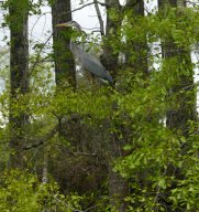 A great heron watches us pass