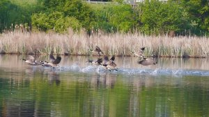 Geese taking flight on the Mohawk River