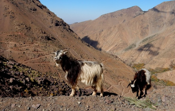 Goats and siwtchback trails