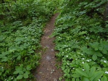 Dogwood lined path