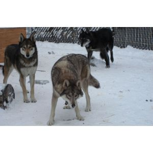 Wolfdog Puppies For Sale