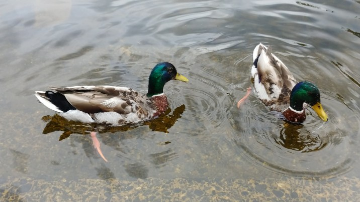 Mallards in Loch Lamond