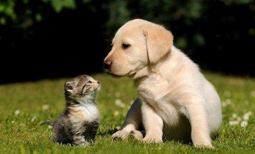 150957_szczeniak-labrador-retriever-maly-kotek