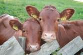 Cloned Beef