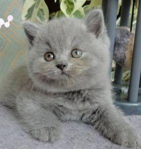 Gatti British Shorthair Cuccioli Maschio E Femmina