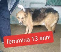 Cane anziano METICCIO femmina di taglia grande in adozione centronord – dolce Nonna FRIDA di 13anni