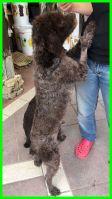 Cane adulto LAGOTTO, METICCIO femmina di taglia media in adozione centronord – PECUNIA così dolce! di 3anni