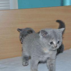 lovely-british-shorthair-kittens-57404c8ed49aa