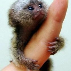 my baby marmoset1