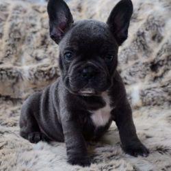 blue-french-bulldog-pups-59f36803be2c3