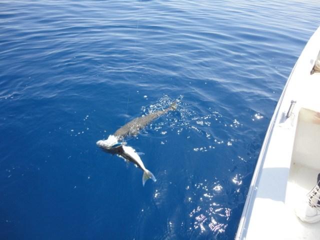 Balon Balığının Yeme Refleksi