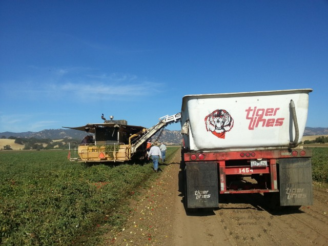 Heavy duty equipment at the farm to harvest the tomatoes #TASTE14
