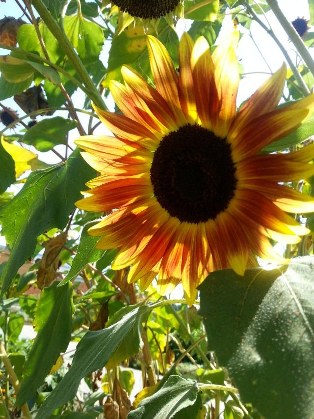 Sunflowers found at the University of California Davis Campus Gardens #TASTE14